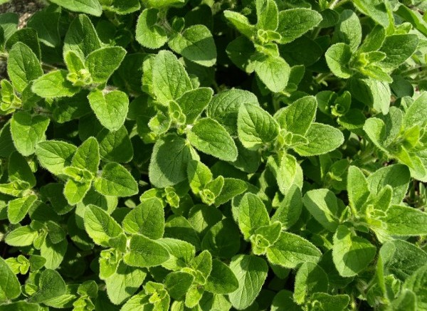 "Oregano essential oil kills antibiotic resistant superbugs ""without any side effects"" urges scientist … Pharma-controlled media SILENT"